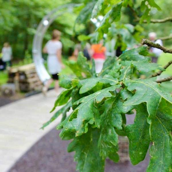 Oak tree, quercus ruber foliage in children's woodland hospice garden designed by Ann-Marie Powell Gardens