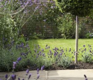 Lavender and Ligustrum