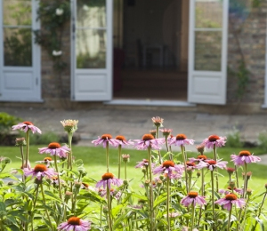 Echinacea in front of lawn
