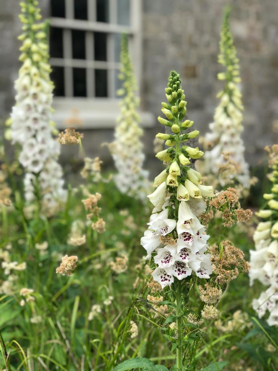 Digitalis purpura alba for bees, butterflies and moths with lazuli seed heads for birds. Naturalistic planting in Hampshire.
