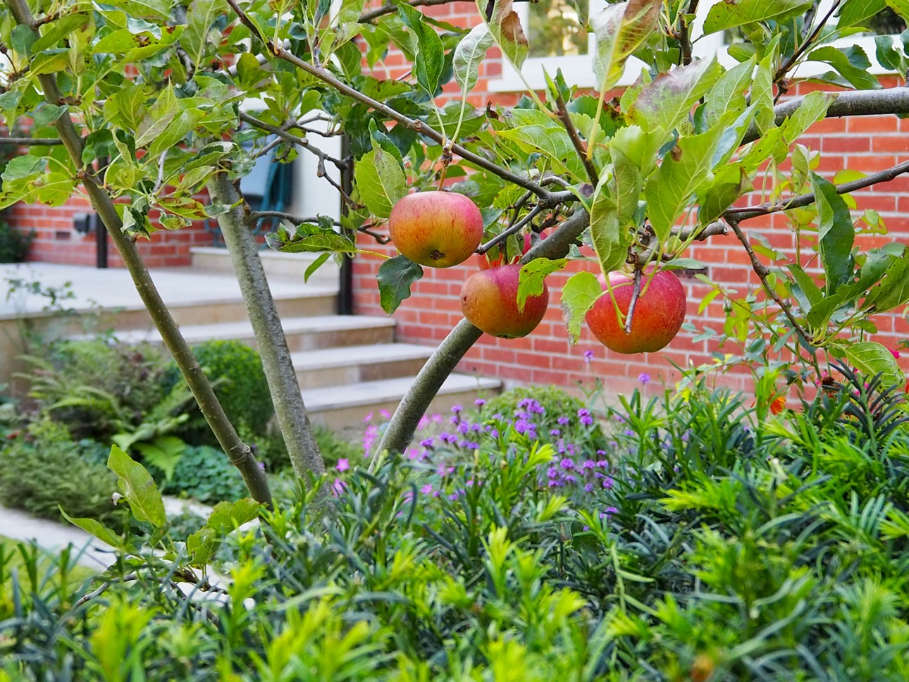 Trained apple tree in mixed border potager in Berkshire garden design by Ann-Marie Powell Gardens