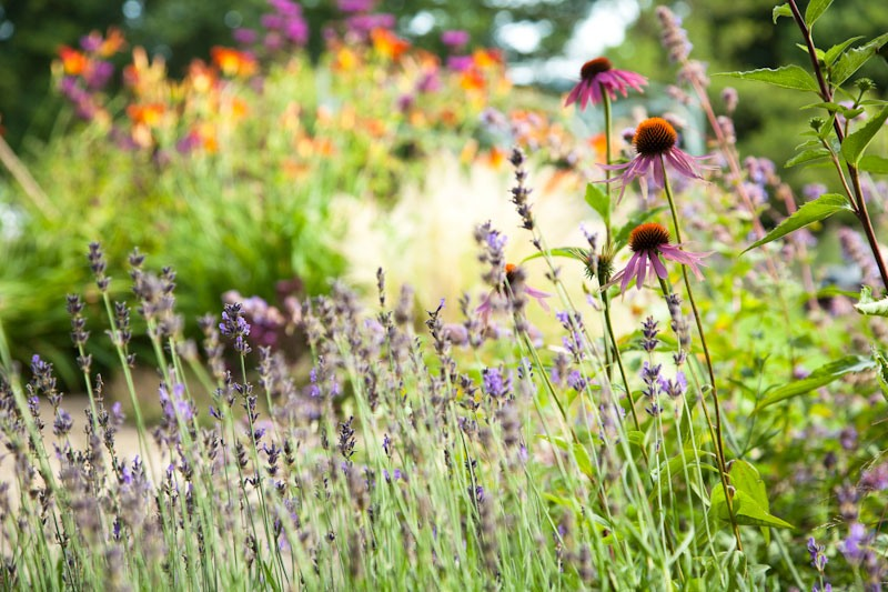Wildlife friendly purple lavender and pink echinacea flowers attracting bees and pollinators into garden