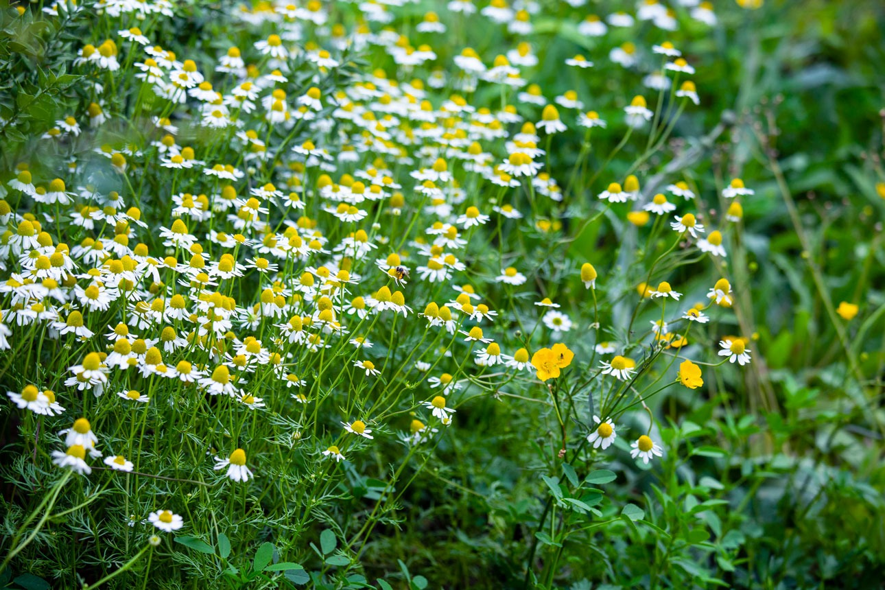 Masses of oxeye daisies and buttercups on steep bank to attract pollinators and other insects into a biodiverse garden