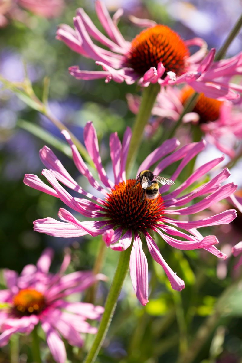 One of RHS top late summer plants for pollinators, pink Echincea purpurea 'Magnus' flowers with bee collecting pollen