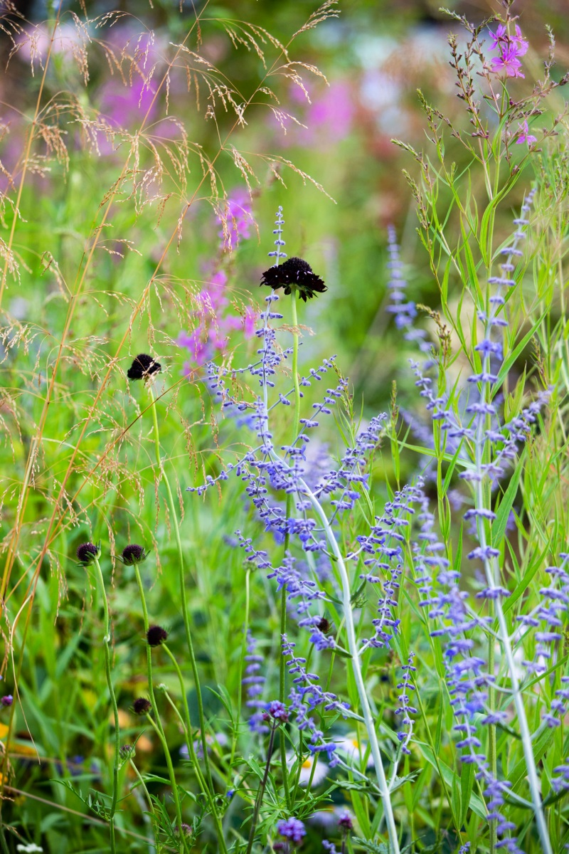 Purple black scabious flower with blue perovskia spikes are two top RHS plants for pollinators