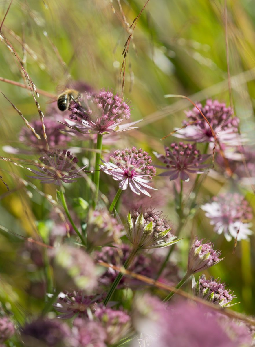 Pink Astrantia 'Roma' providing pollen and nectar to bees and other pollinating insects bringing wildlife into your garden