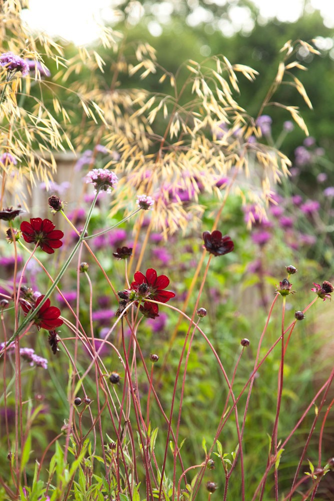 Red dahlia with Stipa gigantea in biodiverse small wildlife garden filled with RHS Plants for Pollinators