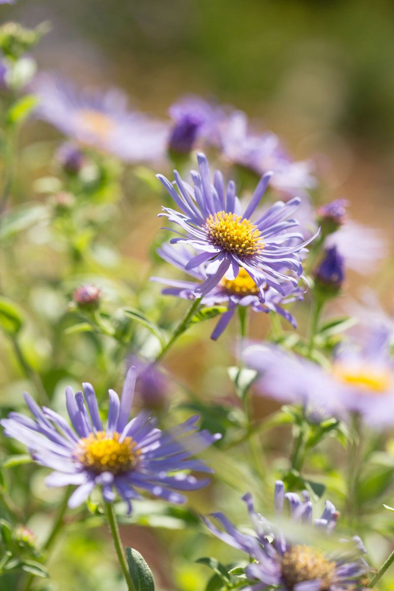 Aster frikartii 'Monck' one of the best RHS Plants for pollinators in wildlife friendly garden designed by Ann-Marie Powell