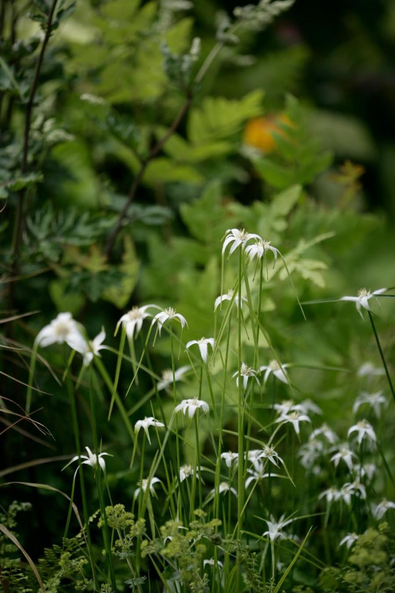 Aquatic marginal pond plant in natural wildlife planting for Macmillan at RHS Hampton Court 2015 by Ann-Marie Powell Gardens.