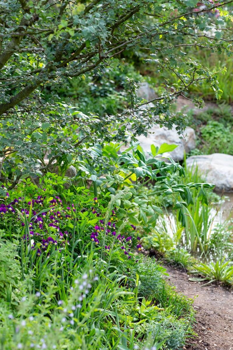 Delicate viola flowers beneath multistem hawthorn for BBC Countryfile show garden by landscape designer Ann-Marie Powell
