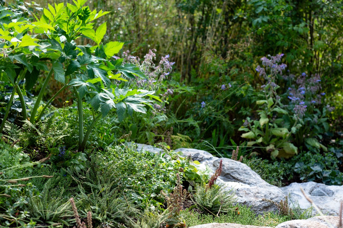 Show garden design bringing in native planting of angelica, scarlet pimpernel flowers and maidenhair ferns