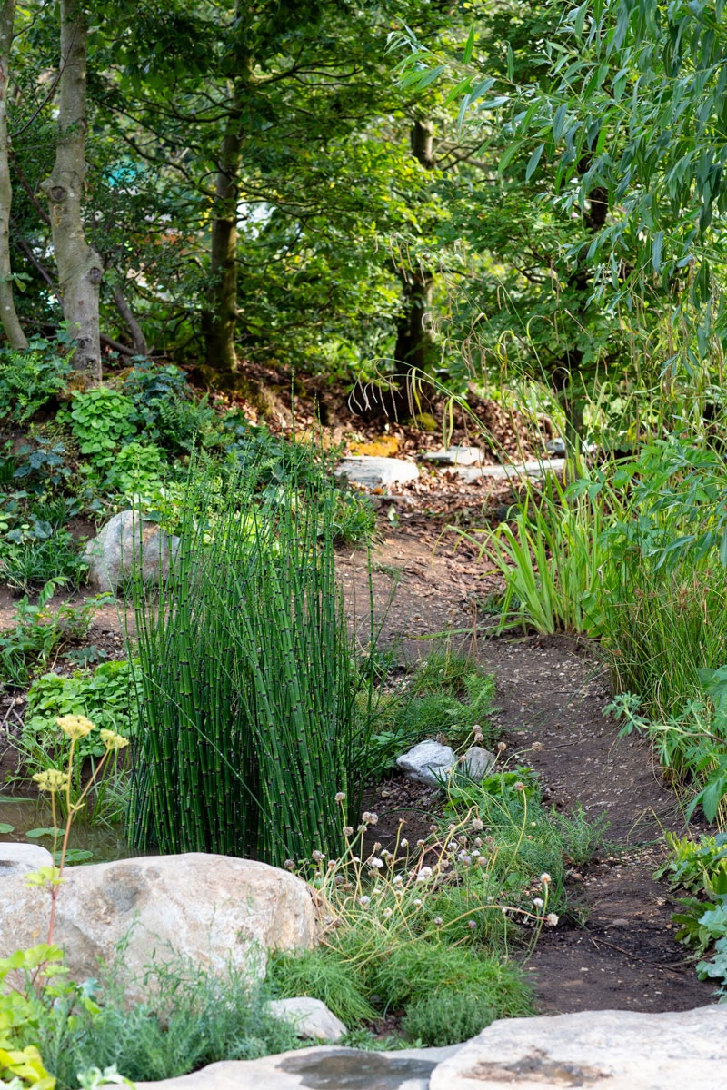 Architectural equisetum aquatic planting in pond beside winding pathway to 'Welsh Beech Woodland'