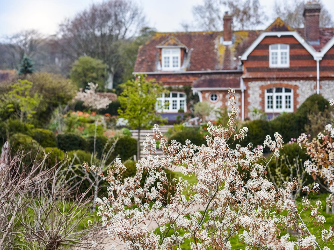 Amelanchier in a contemporary country garden with cloud pruned hedging plants in West Sussex with naturalistic planting.