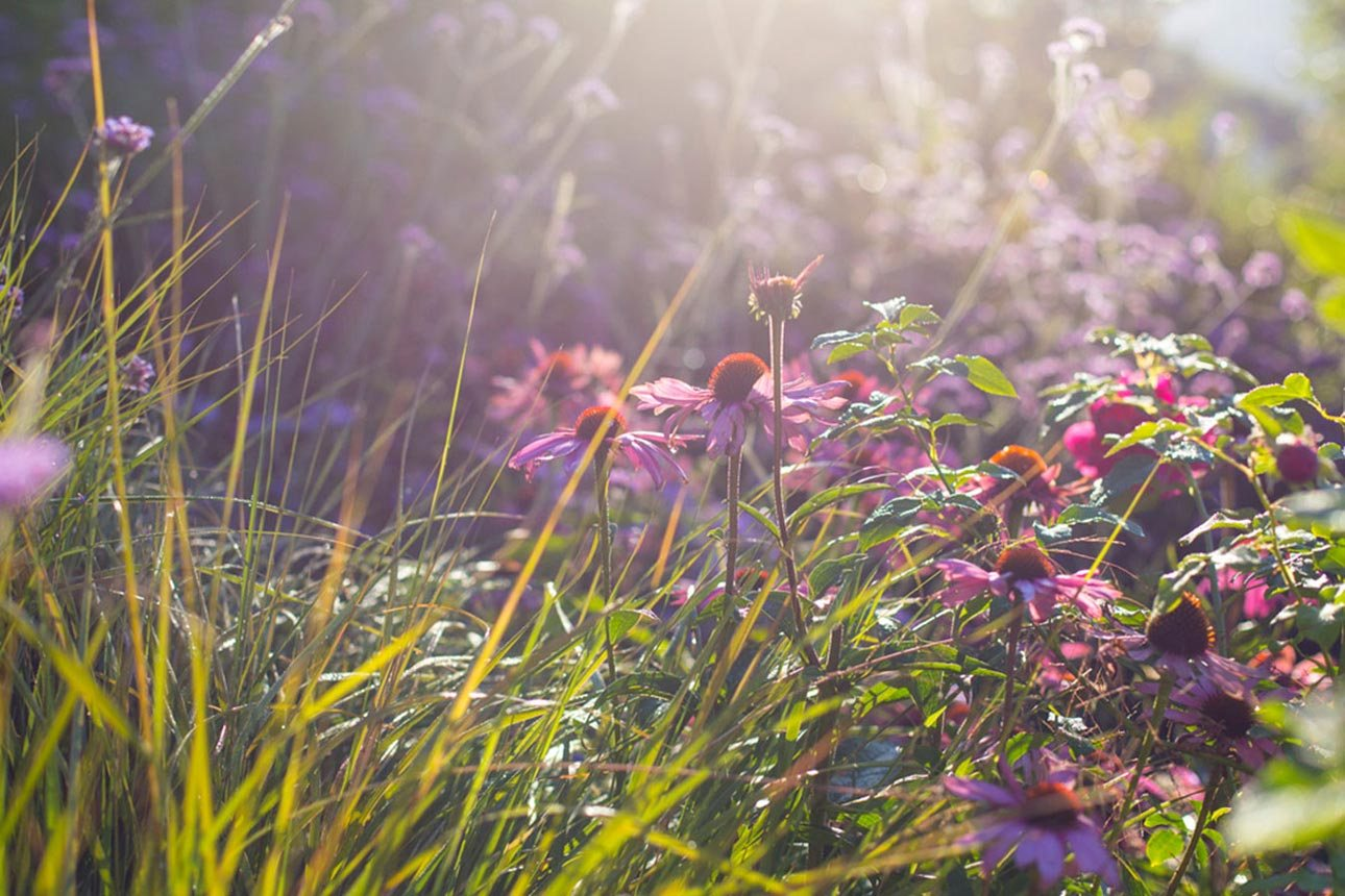 Echinacea purpurea 'Magnus' and Anemanthele lessoniana grass in garden for nature and biodiversity by Ann-Marie Powell.