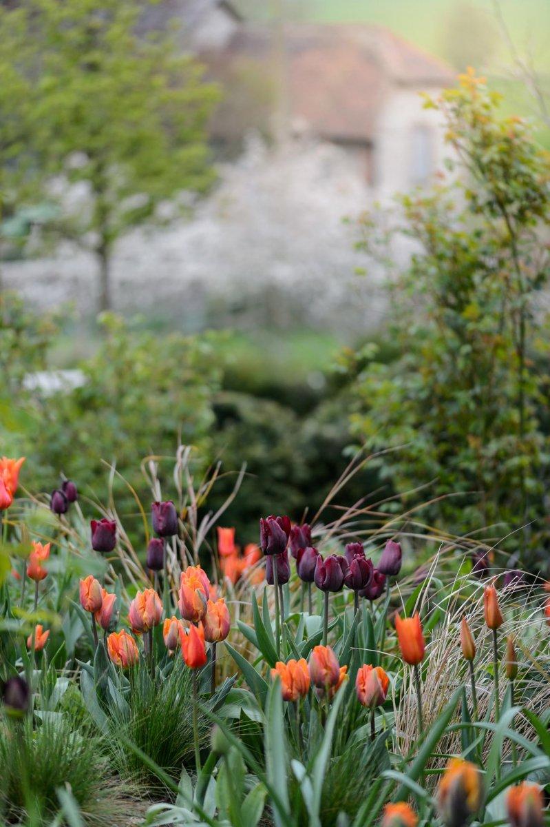 Purple black Tulipa Havran with orange Prinses Irene tulips in rural refined planting scheme by Ann-Marie Powell, Hampshire.