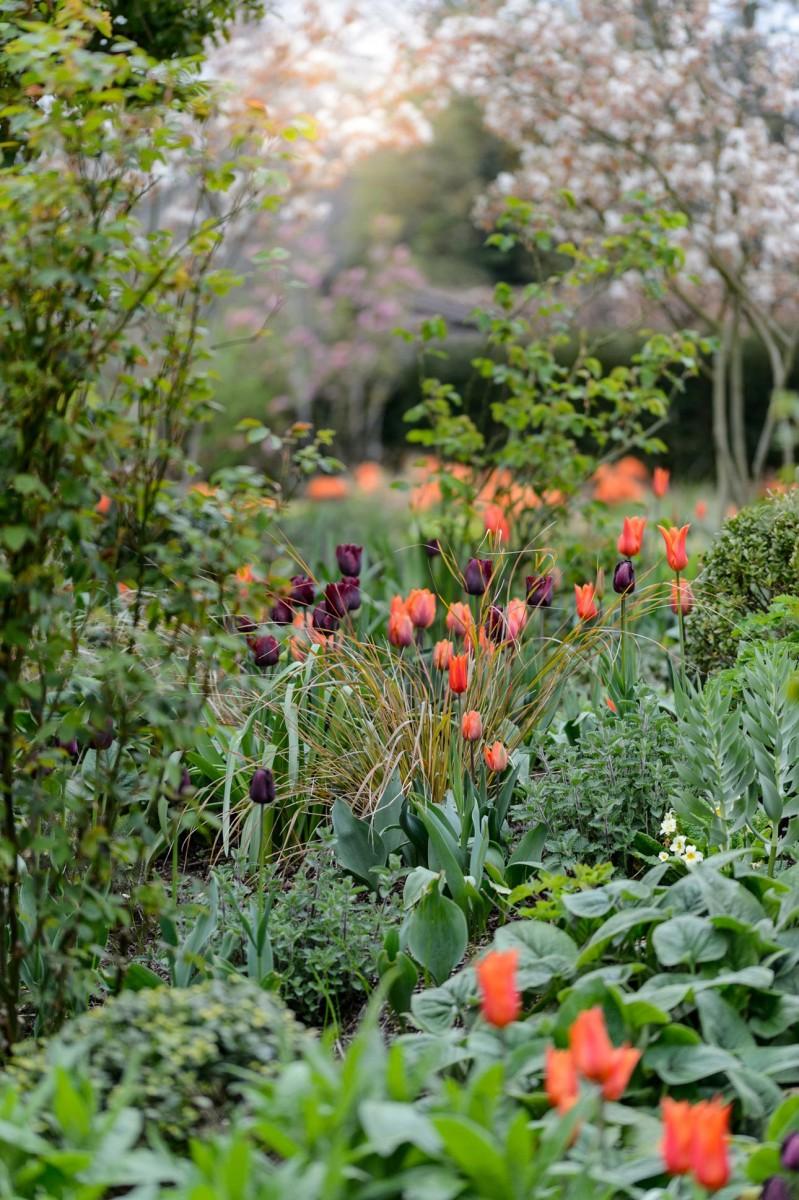 Black, purple and orange tulips; Ballerina, Prinses Irene and Black Hero, in new spring garden, planting design by AMPG.