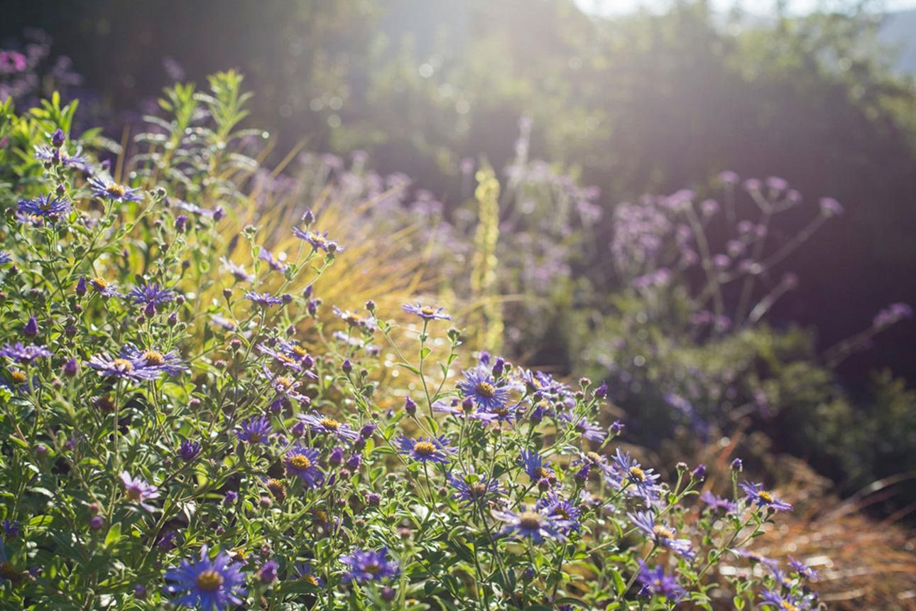 Lavender blue daisies of Aster × frikartii Mönch, a plant perfect for pollinators in late summer, planting design AMPG.