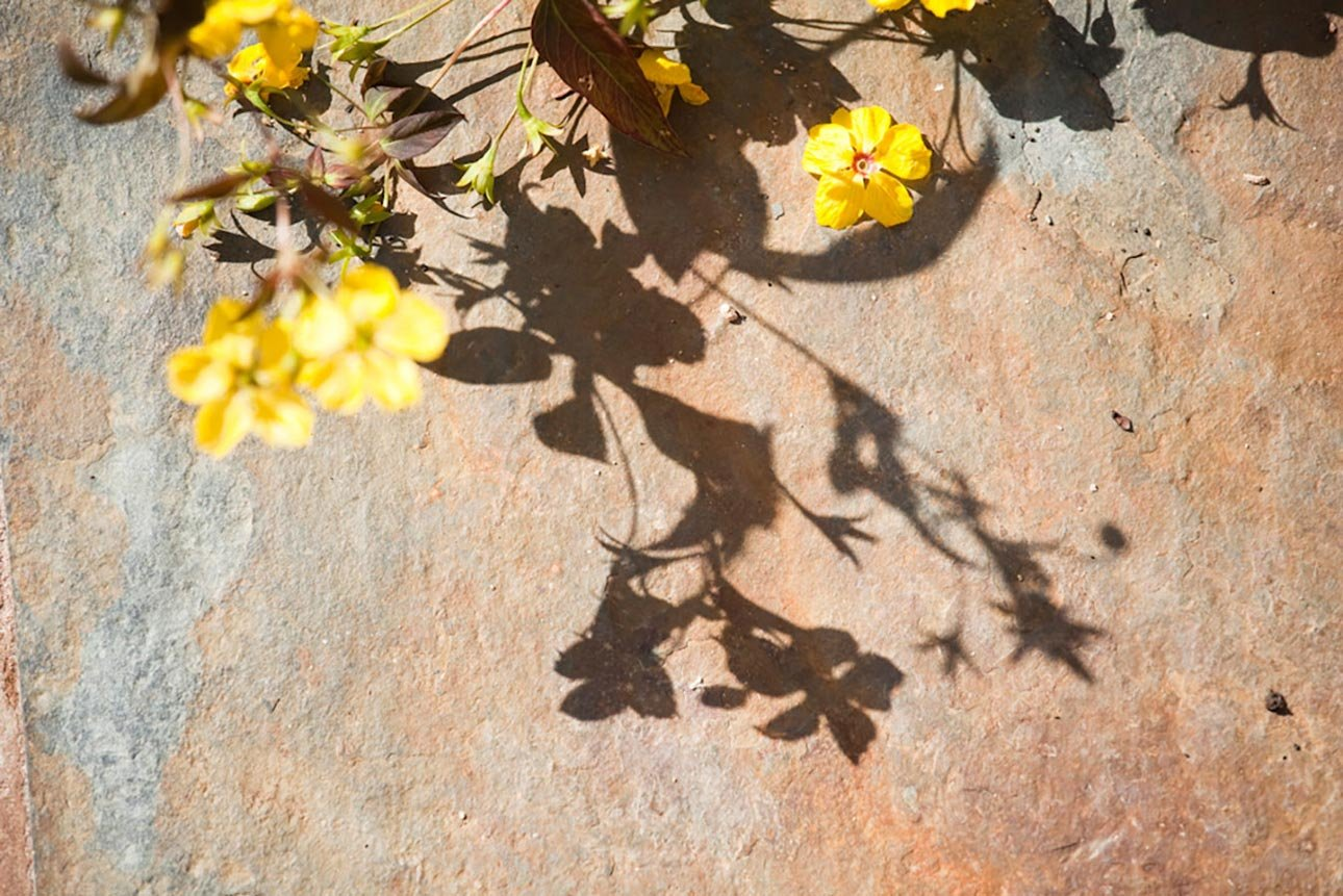 Lysimachia ciliata 'Firecracker' shadow against rustic slate in rustic country garden in Hampshire by Ann-Marie Powell.