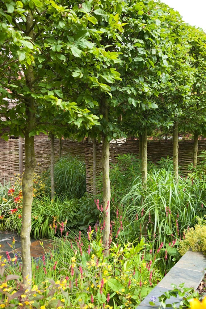 Lollipop hornbeam clipped standards for screening with a hazel fence and miscanthus, persicaria and lysimachia in Hampshire.