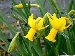 Narcissus_Peeping_Tom.jpg