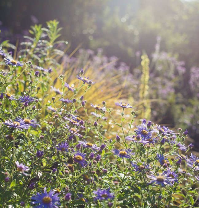 Aster monch in the sunlight