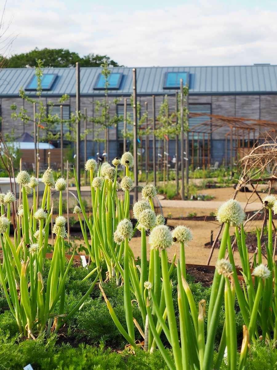 Allium fistulosum World Food garden at Wisley by Ann-Marie Powell