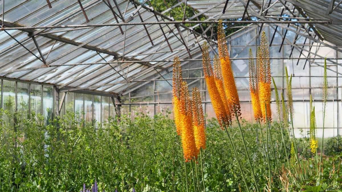 Eremurus Tendercare greenhouse orange spires Chelsea Flower Show 2021 with Gaze Burvill Plant sourcing Tendercare nurseries