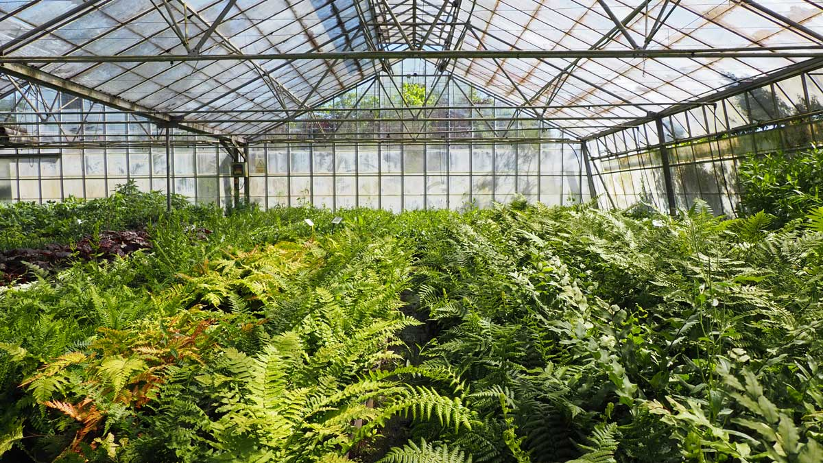 Fern selection in the greenhouse at Tendercare Nurseries plant sourcing Chelsea flower show 2021 Ann-Marie Powell Gardens