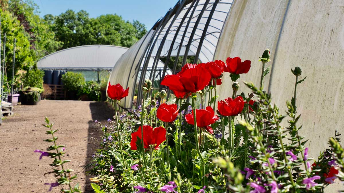 Poppies at Tendercare Nurseries plant sourcing by Ann-Marie Powell gardens polytunnels