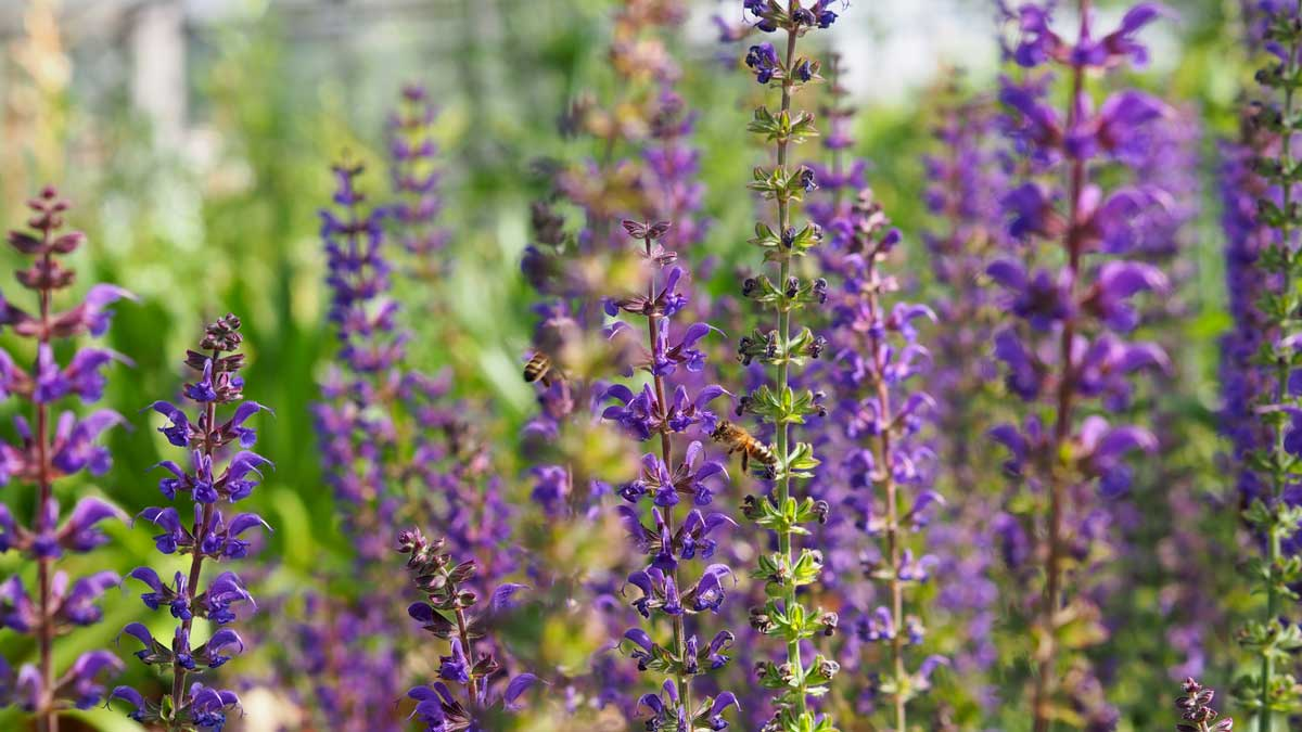 Purple whorls of Salvia Caradonna and bees at Tendercare Nurseries plant sourcing by Ann-Marie Powell Gardens